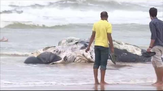 Jornal do Estado – Baleia é encontrada morta na praia de Aruana ...