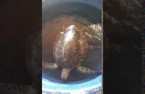 Tartaruga com mancha de óleo é resgatada